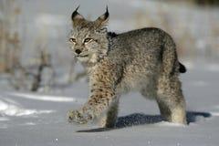 Siberische lynx, Lynxlynx Royalty-vrije Stock Afbeelding