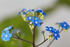 Siberische macrophylla van Brunnera van buglossbloemen Stock Afbeelding