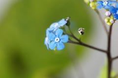 Siberische macrophylla van Brunnera van buglossbloemen Stock Foto