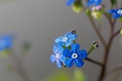 Siberische macrophylla van Brunnera van buglossbloemen Royalty-vrije Stock Foto