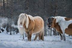 Siberische paarden Stock Foto