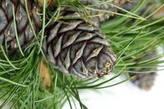 Siberische pijnboomtak met kegels stock afbeelding