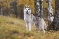 Siberische schor royalty-vrije stock foto's