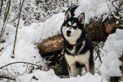 Siberische schor stock fotografie