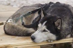 Siberische schor stock afbeelding