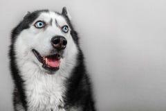 Siberische schor die hond op grijs wordt geïsoleerd Het portret verwarde grappige slee-hond met blauwe ogen en met gedrukte oren royalty-vrije stock afbeeldingen