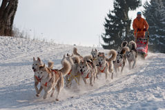 Siberische Schor dogsled op sleep lange Sedivacek Stock Afbeeldingen