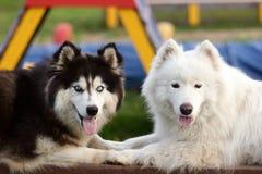 Siberische Schor en Van Alaska Malamute Royalty-vrije Stock Fotografie