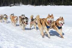Siberische schor hond stock afbeelding