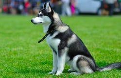 Siberische schor hond royalty-vrije stock afbeelding