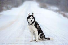 Siberische schor hond stock afbeeldingen