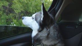 Siberische schor hond die haar neus uit van het venster van automobiel plakken en aan mooie aard platteland bekijken stock footage