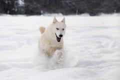 Siberische schor hond die in sneeuw lopen Stock Afbeeldingen