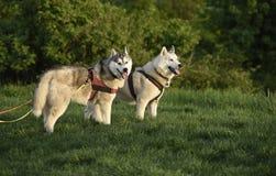 Siberische schor honden Royalty-vrije Stock Fotografie