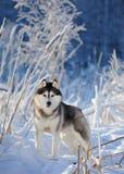 Siberische schor op de achtergrond van bomen met Stock Foto's