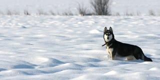 Siberische Schor pauze op sneeuw stock afbeeldingen