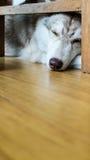 Siberische schor slaap Royalty-vrije Stock Afbeeldingen