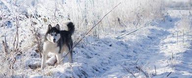 Siberische schor tribunes stock foto's