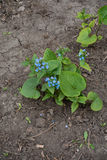 Siberische sibiricainstallatie van buglossbrunnera in de lente in het bloembed jpg royalty-vrije stock fotografie