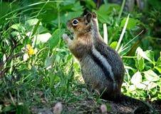 Siberische sibiricus van aardeekhoorn Latijnse Tamias De aardeekhoorns omvatten 25 species, meesten waarvan de levend in Noord-Am stock afbeeldingen