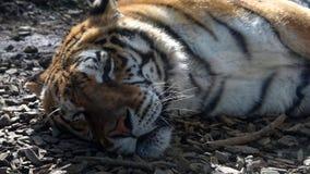 Siberische tijger stock footage