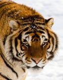 Siberische Tijger Stock Foto's