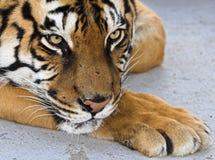 Siberische tijger Royalty-vrije Stock Foto
