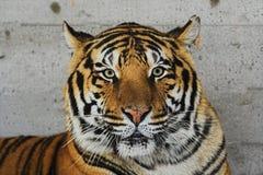 Siberische tijger Royalty-vrije Stock Afbeeldingen