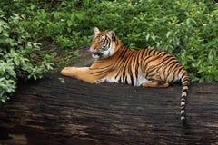 Siberische tijger Royalty-vrije Stock Foto's
