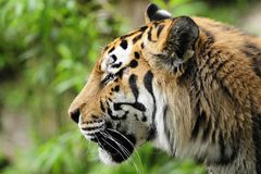 Siberische Tijger (altaica van Panthera Tigris) Royalty-vrije Stock Foto's