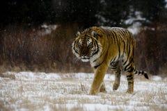 Siberische tijger, altaica van Panthera Tigris Royalty-vrije Stock Foto's