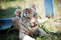 Siberische tijger, altaica van Panthera Tigris stock fotografie