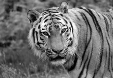 Siberische tijger dichte omhooggaand stock afbeelding