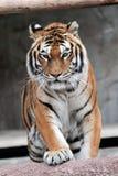 Siberische tijger die (altaica van Panthera Tigris) naderbij komen Royalty-vrije Stock Fotografie