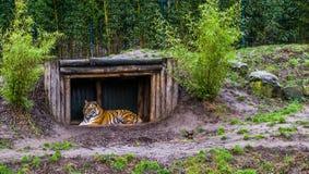 Siberische tijger die in een boomhut leggen, Bedreigd dier van Rusland royalty-vrije stock fotografie