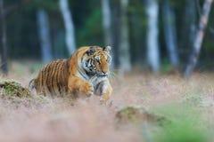 Siberische tijger die in wilde taiga springen Siberische tijger, altaica van Panthera Tigris royalty-vrije stock foto