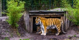 Siberische tijger die zich voor zijn hut, Bedreigd dier van China bevinden royalty-vrije stock foto