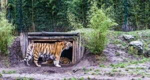Siberische tijger die zijn hoofd tegen het hout van zijn hut, bedreigd dier van Rusland wrijven stock foto's