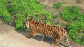Siberische tijger in dierentuin Wilde tijger in vogelhuis Carnivoor in zoölogisch park stock video