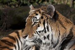 Siberische tijger in een dierentuin stock afbeelding