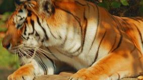 Siberische tijger geeuw stock footage