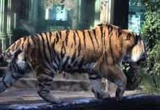 Siberische tijger op boom royalty-vrije stock foto's