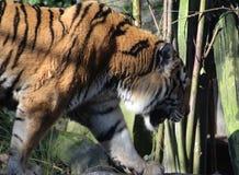 Siberische tijger op boom royalty-vrije stock fotografie