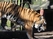 Siberische tijger op boom royalty-vrije stock foto
