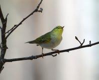 Sibilatrix Phylloscopus деревянной певчей птицы Стоковые Изображения