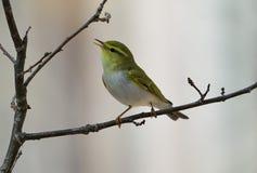 Sibilatrix Phylloscopus деревянной певчей птицы Стоковая Фотография
