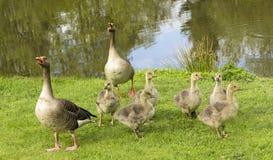 Sibilo dei genitori delle oche per proteggere i loro bambini Immagine Stock