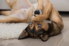 Sibiran Husky lying in a living room Royalty Free Stock Photo