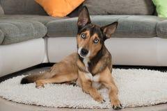 Sibiran Husky lying in a living room Stock Image