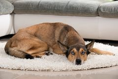 Sibiran Husky lying in a living room Royalty Free Stock Images
